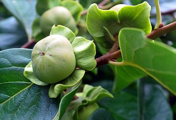 Persimmon Drink Ovary Food Tree Sapling Fruit Raw