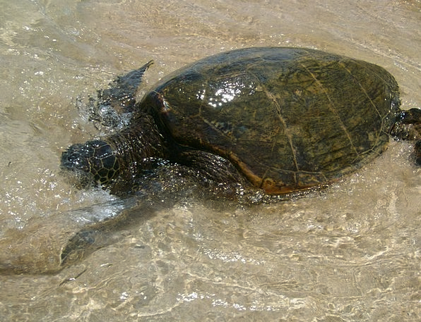 Sea Turtle Turtle Hawaii Sea Marine Maritime