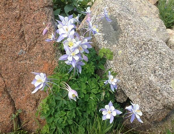 Blue Colombine Landscapes Floret Nature Wildflower