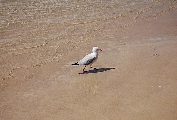 Bird Fowl Marine Ocean Sea Seagull Animal Sand Sea