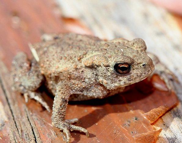 Common Frog Frog Rana Temporaria Animals Faunae Am