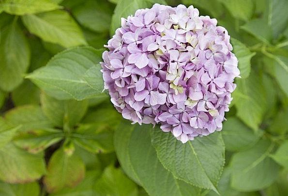 Hydrangeaceae Mauve Floral Flowery Lilac Fresh Blo