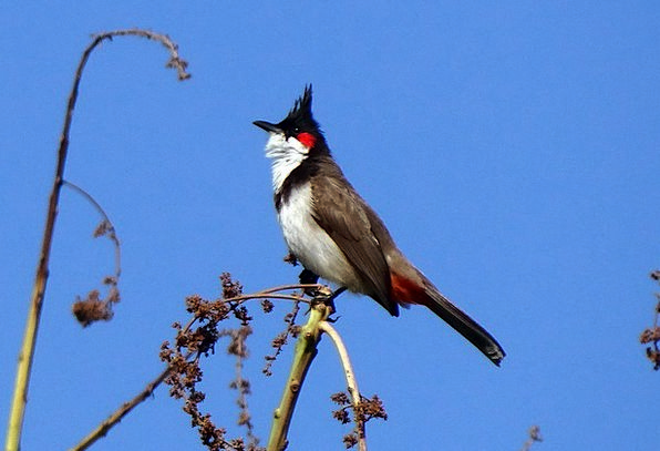 Red-Whiskered Bulbul Fowl Pycnonotus Jocosus Bird