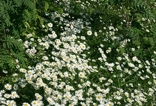 Daisies Landscapes Nature Flowers Daisy Gardens Wh