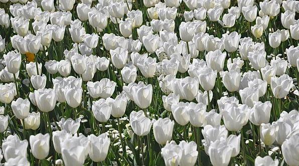 Tulip Snowy Flower Floret White Floriade Canberra