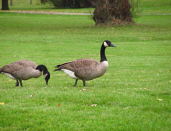 Geese Landscapes Natures Nature Nature Countryside