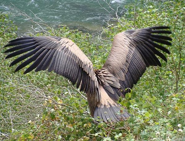 Griffon Vulture Lumbier Bird Of Prey