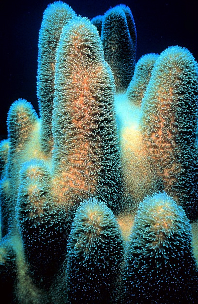 Coral Countless Scleractinia Great Animal Dendrogy