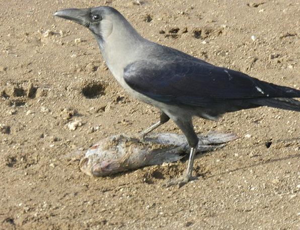 Crow Caw Predator Marauder Indian Crow Freedom Bir