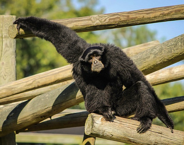 Monkey Gibbon Siamang Black-Furred Gibbon Ape Less