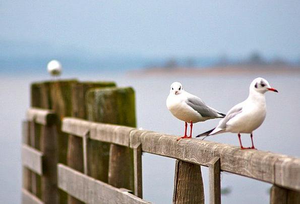 Seagull Landscapes Countryside Nature Chiemsee Nat