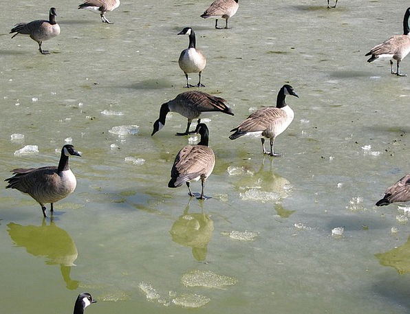 Geese Canada Goose Frozen Ice-covered Pond Water P
