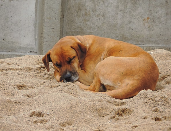 Dog Canine Asleep Sand Shingle Sleeping Brown Choc