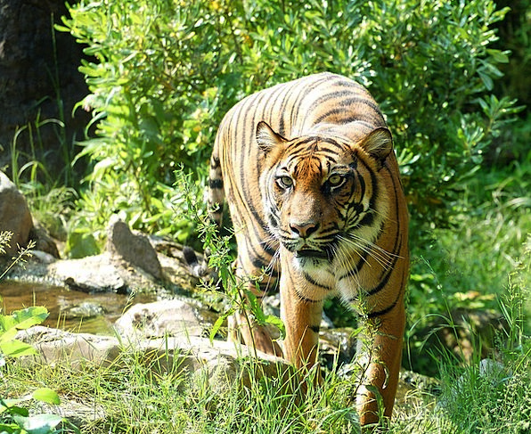 Tiger Cat Feline Sumatran Tiger Predator Marauder