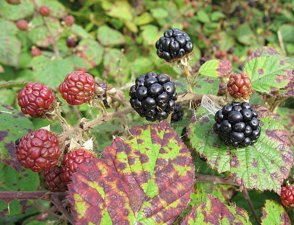 Blackberry Drink Food Fruit Ovary Fruits Of The Fo
