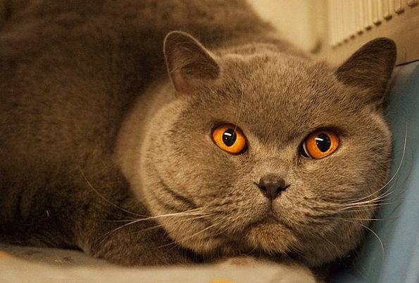 Cat Feline Carroty Gray Leaden Orange