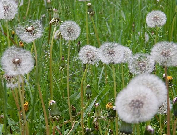 Dandelion Landscapes Countryside Nature Landscape