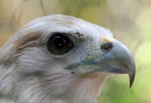 Eagles Natures Predators Marauders Birds Head Rapt