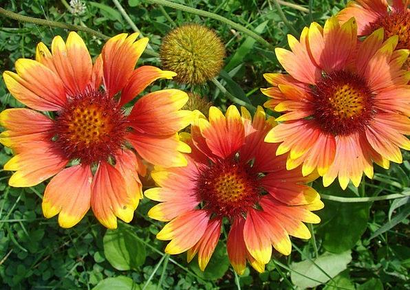 Gaillardia Comprehensive Flowers Plants Blanket Ye