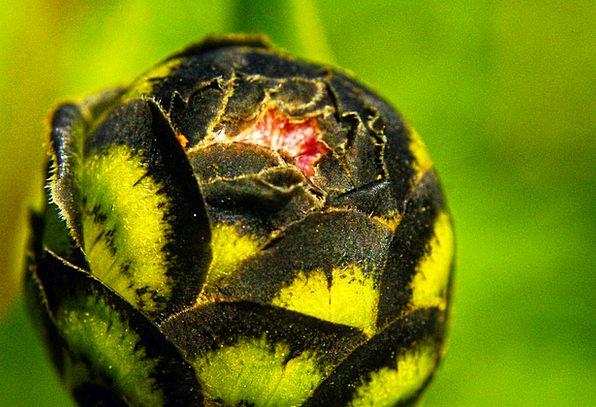 Bud Sprout Lime Black Dark Green Bicolor Flower Fl