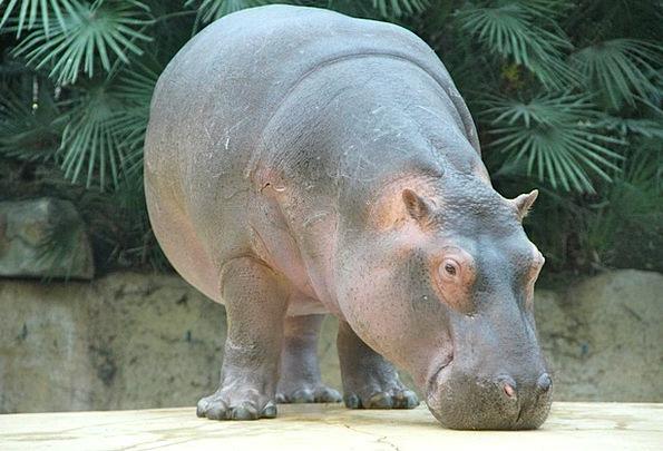 Zoo Menagerie Faunae Hippo Animals