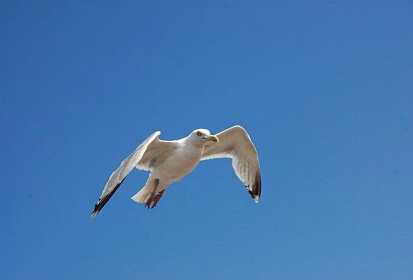 Bird Fowl Blue Sky Seagull Animal World Sky Blue C