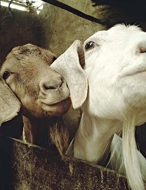 Goat Physical Sheep Ewe Animal Funny Humorous Big
