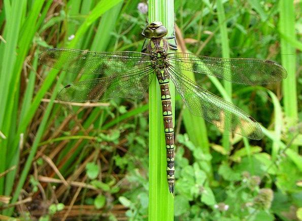 Dragonfly Pond Pool Aeshna Cyanea Wetlands Swamps