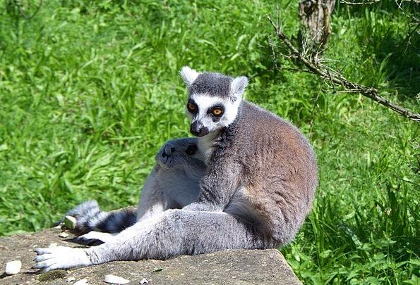 Lemur Physical Wild Life Animal Species Madagascar