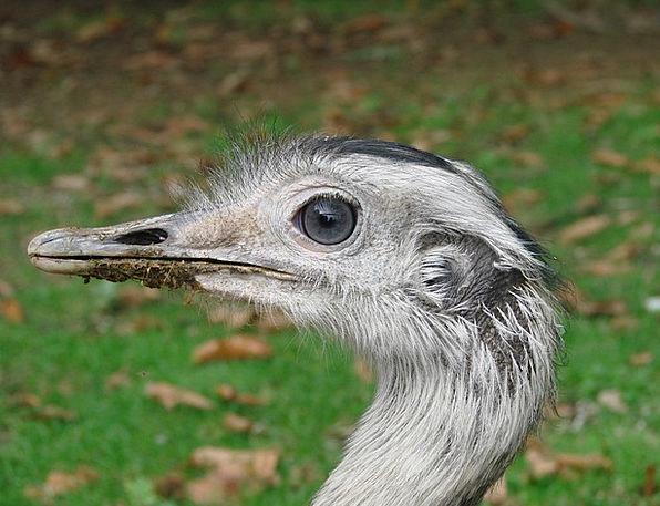 Emu Bird Fowl Wild Animal