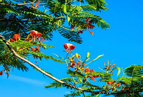 Blossom Floret Red Bloodshot Flower Tree Sapling