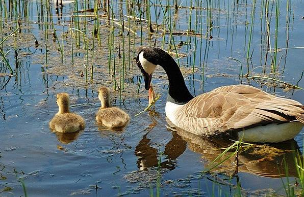 Canada Goose Swan Wander Branta Canadensis Water S
