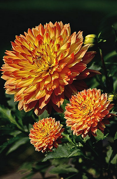 Dalia Flower Floret Georgia Flowers Garden Flowers
