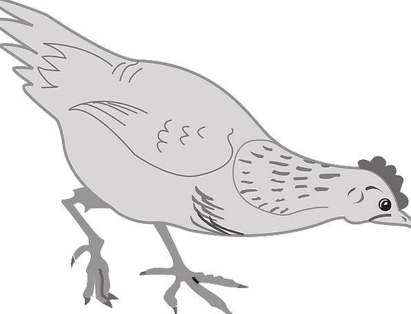 Chicken Cowardly Fowl Bird Hen Eating Consumption