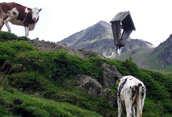 Cows Intimidates Alm Wayside Cross Staller Sattel