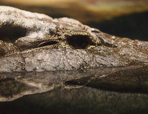 Crocodile Line Water Aquatic Alligator Zoo Menager