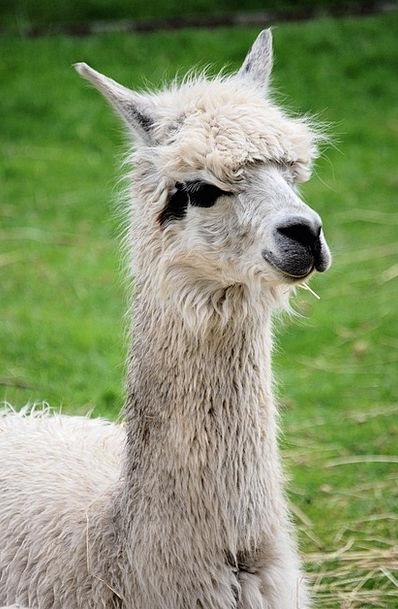 Llama Creature Fluffy Fleecy Mammal Llama Glama Ca