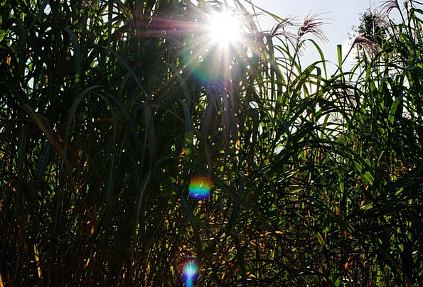 Reed Cane Flares Flashes Evening Sun Teichplanze S