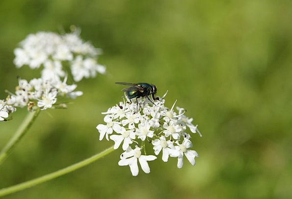 Fly Hover Floret Meadow Field Flower Pointed Flowe