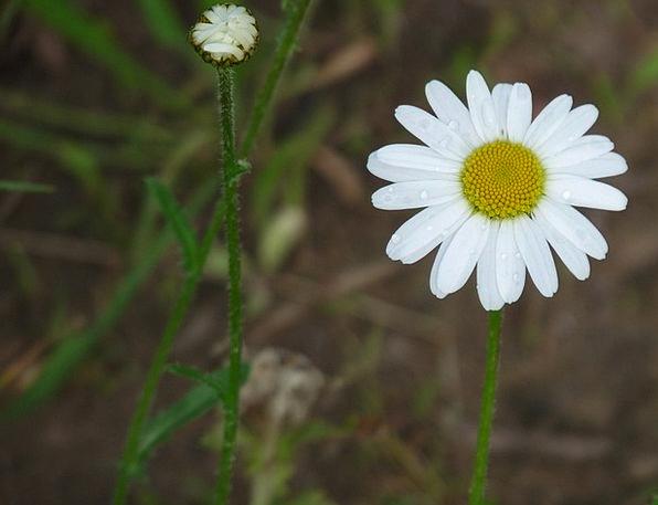 Daisy Snowy Tender Loving White Flower Floret