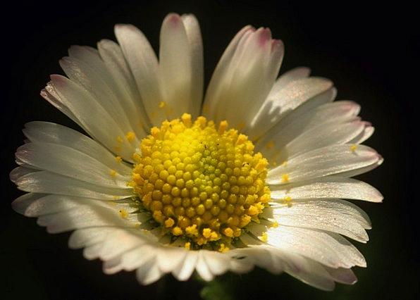 Daisy Landscapes Floret Nature Petals Flower Macro