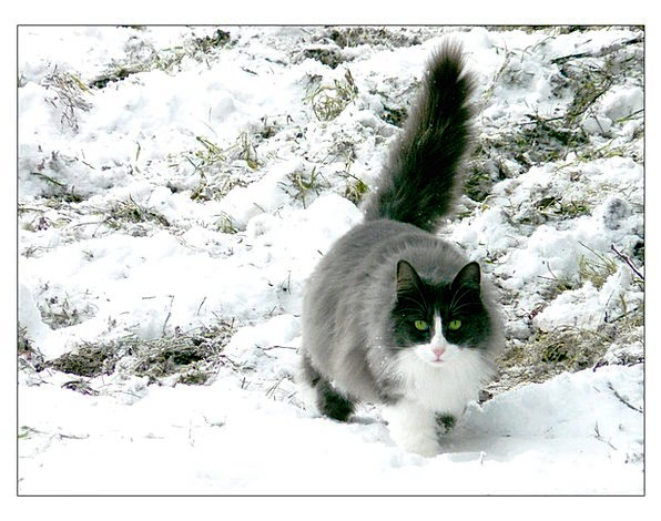 Cat Feline Physical Snow Snowflake Animal Animals