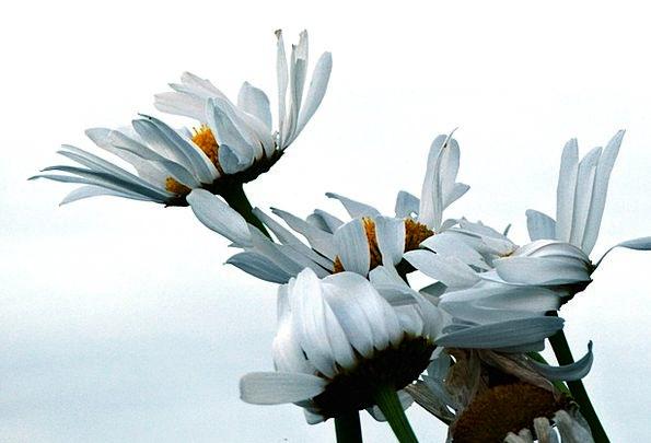 Daisy Landscapes Plants Nature White Snowy Flowers