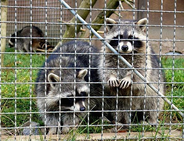 Raccoons Inclusion Animals Faunae Enclosure Fur Ha