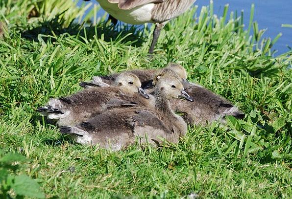 Canada Geese Goslings Branta Canadensis Waterfowl