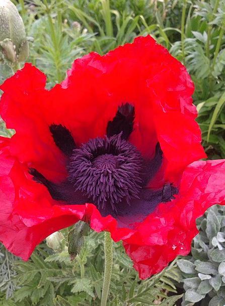 Early Summer Floret Red Bloodshot Flower Poppy Pop