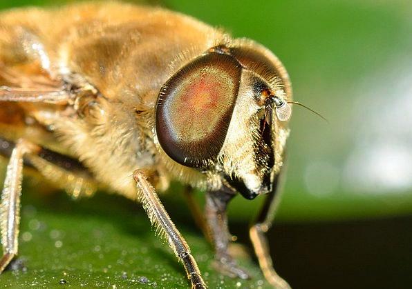 Brine Fly Bug Eristalis Insect Tenax