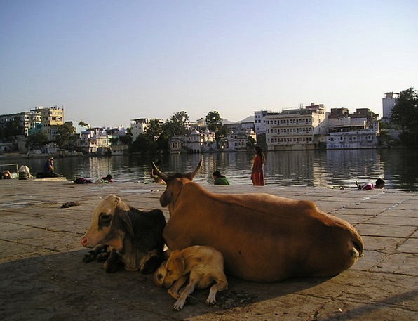India Intimidate Dog Canine Cow Animals Faunae Hol
