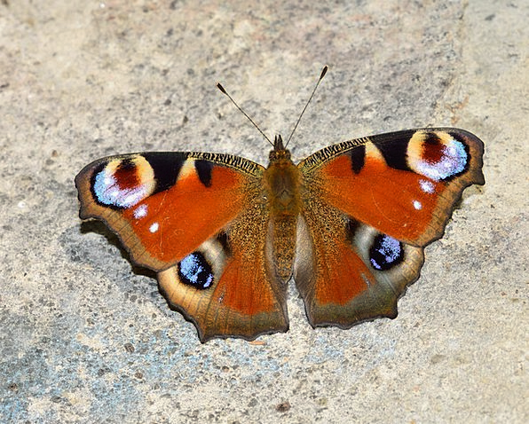 Insects Bugs Nerves Lepidoptera Butterflies