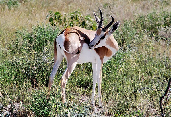 Springbok Physical Africa Animal Animals Faunae Sa